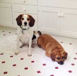 Mugsy and Toby need a foster in IN!