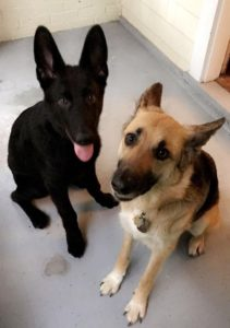 Oakley and Leonidas found a foster in PA!
