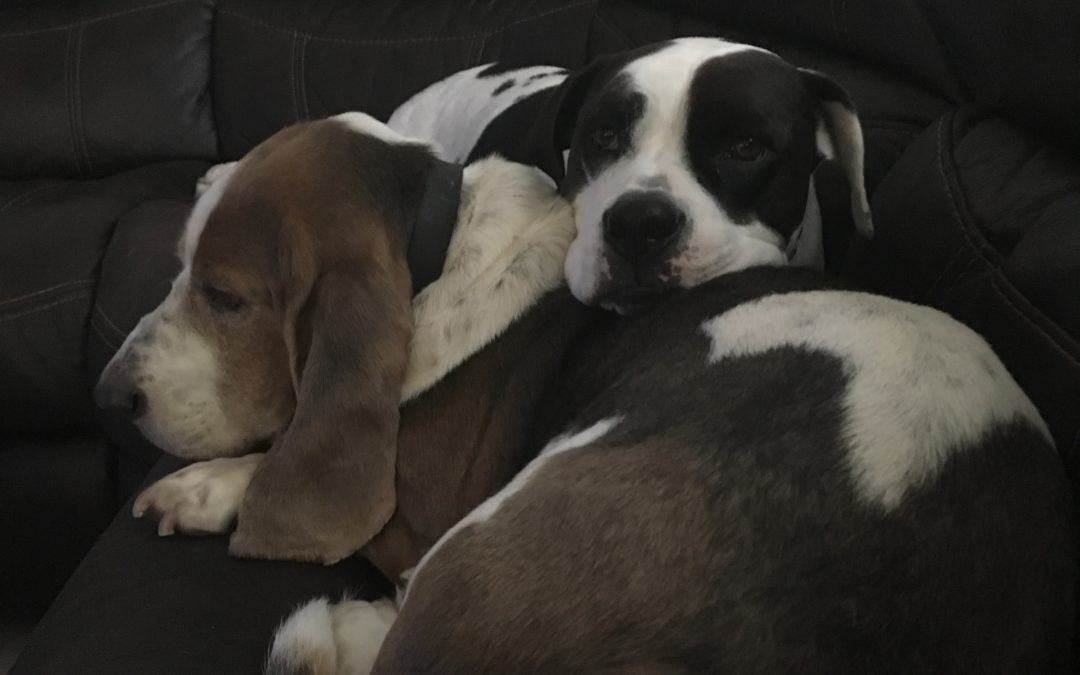 Frankie and Tank need a foster in CA!