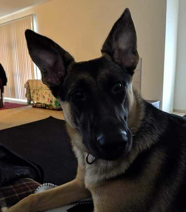 Harley needs a foster in WA!