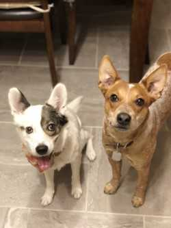 Belle and Remi need a foster in VA!