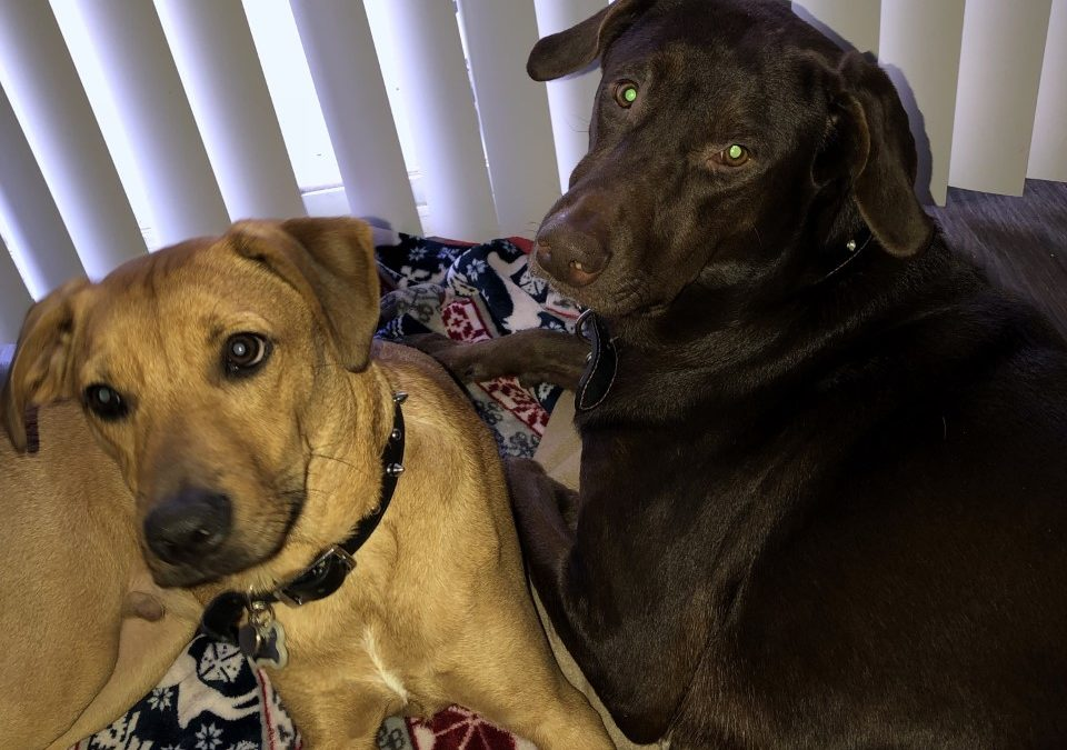 Cali and Saint need a foster in FL!