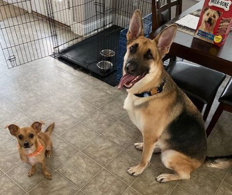Wrangler needs a foster in NC!