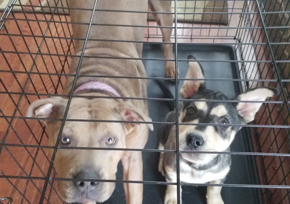 Lazy J and Aggie need a foster in NC!