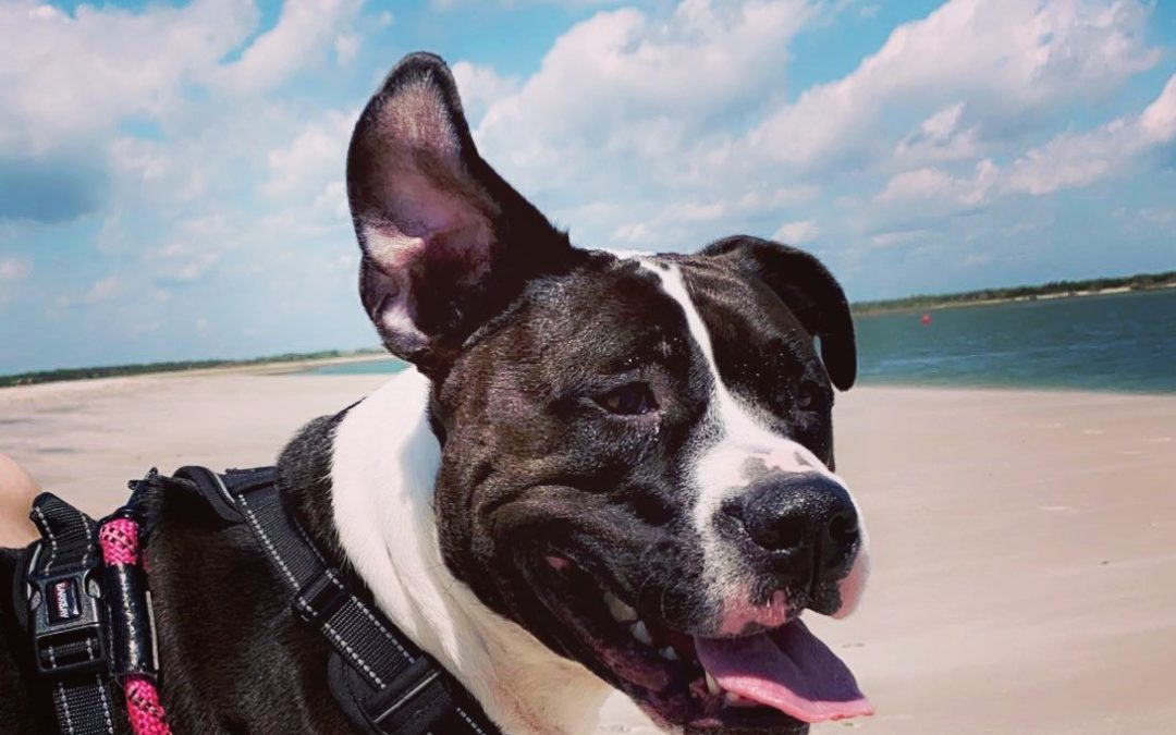 Ellie needs a foster in NC, SC, GA, or FL!