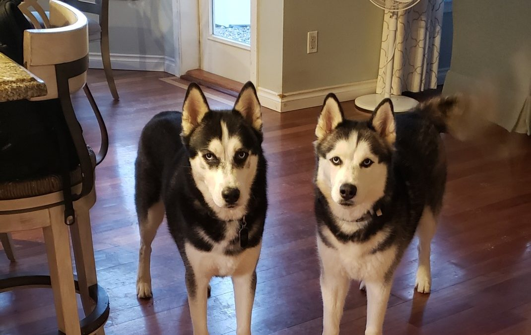 Batman and Bandit need a foster in WA!