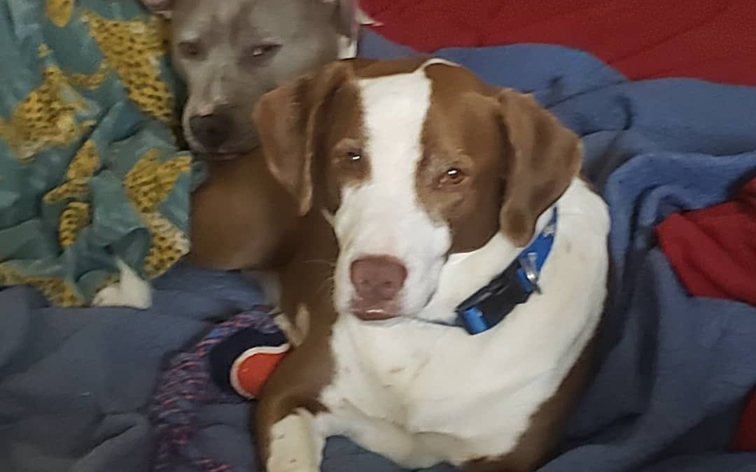 Scout and Sadie need a foster in MO!