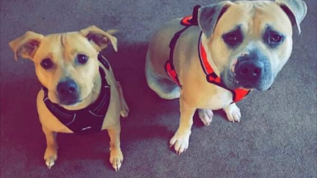 Enzo and Gus need a foster near Toledo, OH!