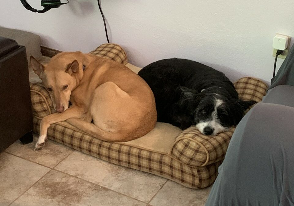 Molly and Layla found a foster in TX!