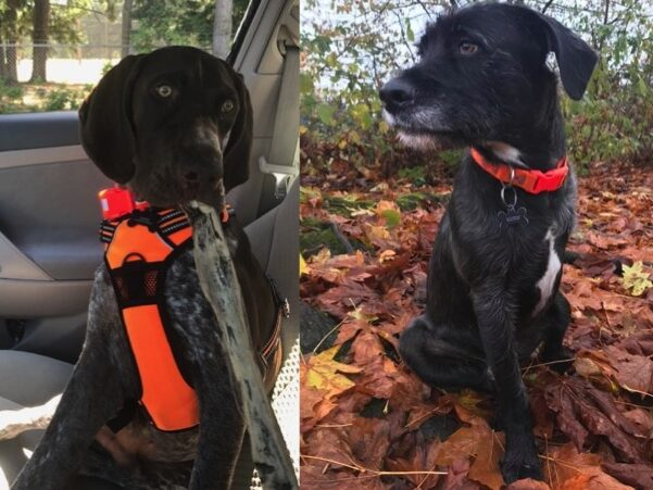 Cletus and Sirius need a foster in FL!