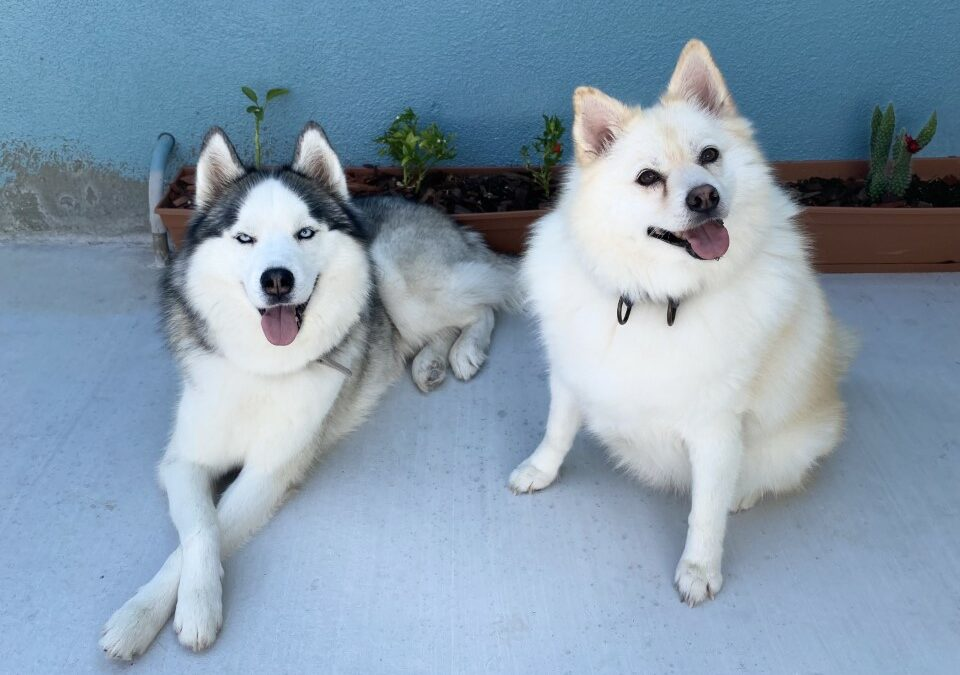 Lucas and Miloh need a foster in CA!